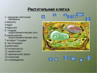 Растительная клетка 1- наружная клеточная мембрана 2-вакуоль 3-ядро 4-ядрышко
