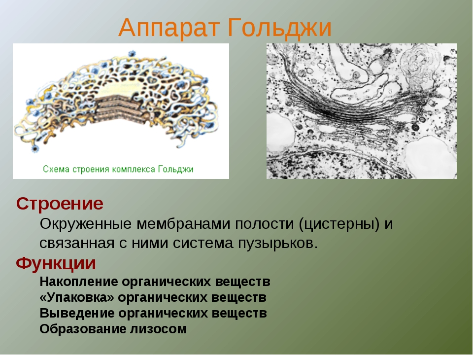 Строение Окруженные мембранами полости (цистерны) и связанная с ними система...