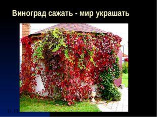 Виноград сажать - мир украшать