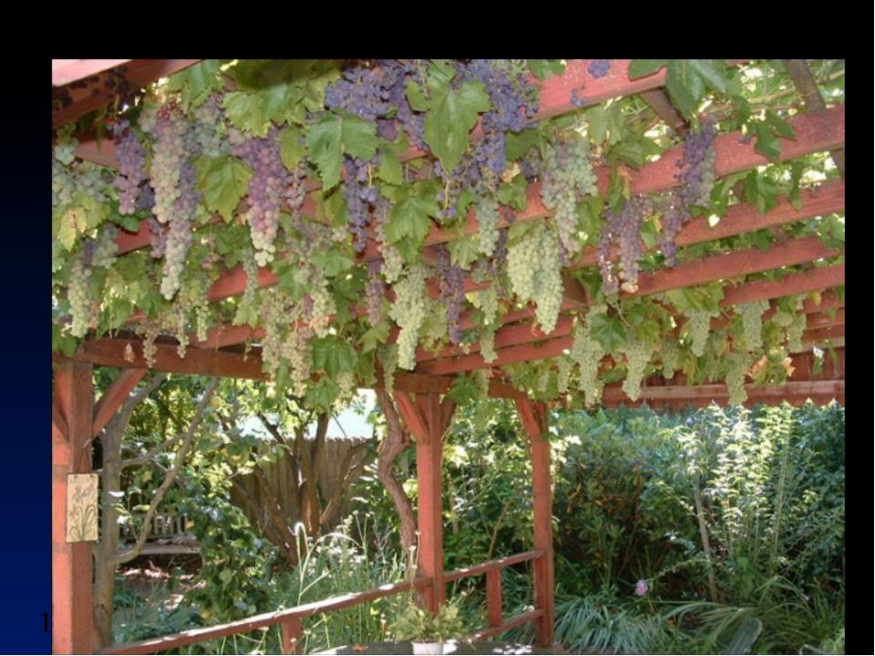 Growing grapes at home - picmia.