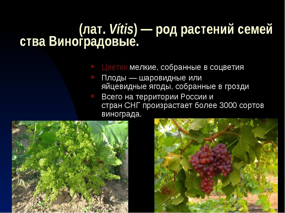 Виногра́д(лат.Vítis)—родрастенийсемействаВиноградовые. Цветкимелкие,...