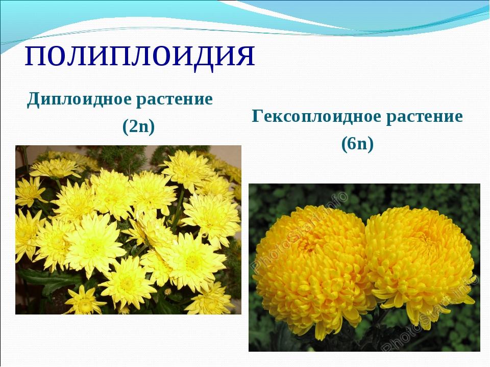 полиплоидия Диплоидное растение (2n) Гексоплоидное растение (6n)