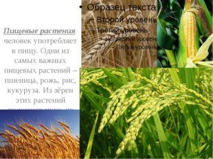 Пищевые растения человек употребляет в пищу. Одни из самых важных пищевых ра