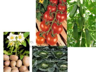 В огородах выращивают картофель, капусту, помидоры, огурцы.