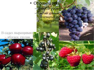 В садах выращивают – яблоки, груши, виноград, смородину, малину, землянику и