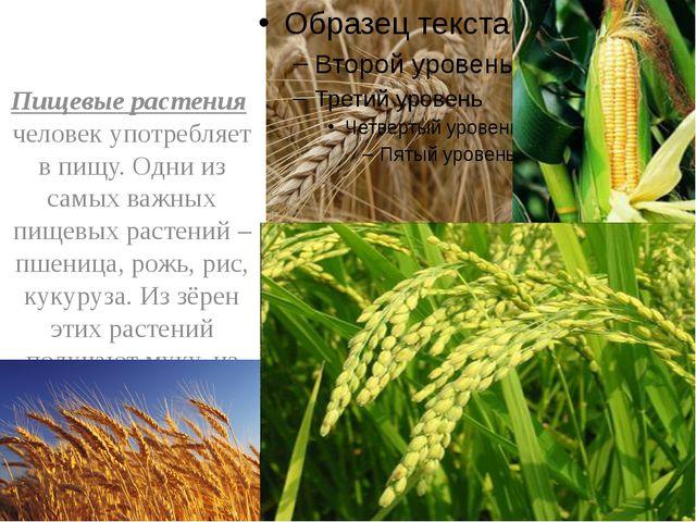 Пищевые растения человек употребляет в пищу. Одни из самых важных пищевых ра...