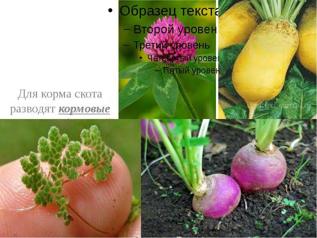 Для корма скота разводят кормовые растения ( водный папоротник азоллу, клеве...