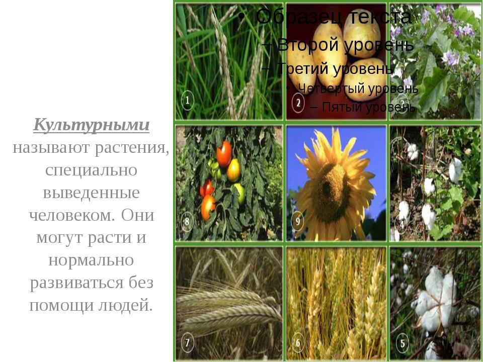 Культурными называют растения, специально выведенные человеком. Они могут ра...