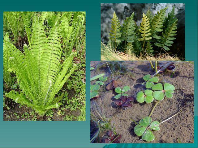 Древние папоротникообразные Папоротники – наиболее древняя группа растений. Б...