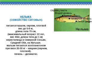 НЕЛЬМА (СЕМЕЙСТВО СИГОВЫХ) питается ершом, окунем, плотвой вес до 5-8 кг, дли