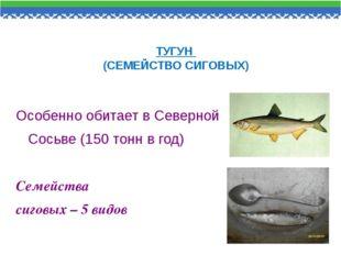 ТУГУН (СЕМЕЙСТВО СИГОВЫХ) Особенно обитает в Северной Сосьве (150 тонн в год)