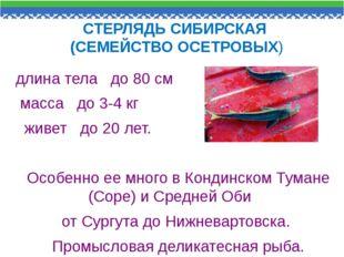 СТЕРЛЯДЬ СИБИРСКАЯ (СЕМЕЙСТВО ОСЕТРОВЫХ) длина тела до 80 см масса до 3-4 кг
