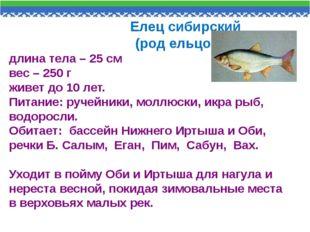 Елец сибирский (род ельцовых) длина тела – 25 см вес – 250 г живет до 10 лет