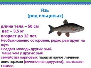 Язь (род ельцовых) длина тела – 50 см вес – 3,5 кг возраст до 12 лет. Необыкн
