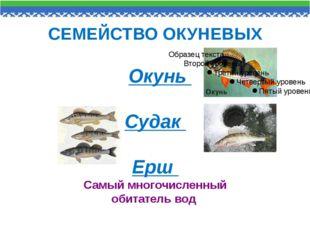 СЕМЕЙСТВО ОКУНЕВЫХ Окунь Судак Ерш Самый многочисленный обитатель вод