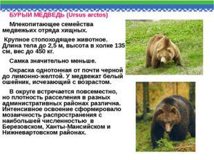 БУРЫЙ МЕДВЕДЬ (Ursus arctos) Млекопитающее семейства медвежьих отряда хищных.