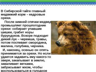 В Сибирской тайге главный медвежий корм – кедровые орехи. После зимней спячки