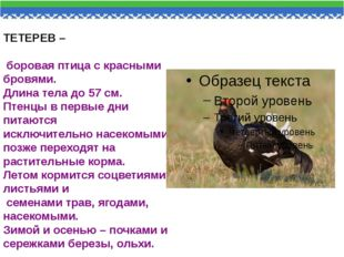 ТЕТЕРЕВ – боровая птица с красными бровями. Длина тела до 57 см. Птенцы в пер