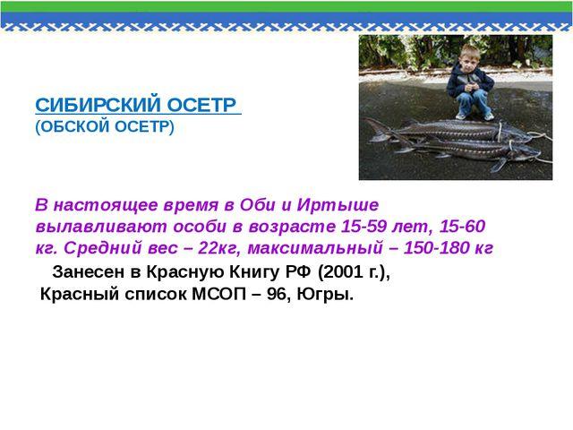 СИБИРСКИЙ ОСЕТР (ОБСКОЙ ОСЕТР) В настоящее время в Оби и Иртыше вылавливают...