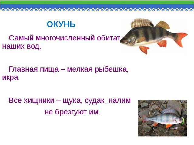 ОКУНЬ Самый многочисленный обитатель наших вод. Главная пища – мелкая рыбешка...
