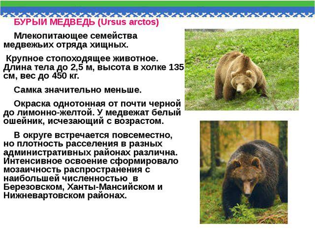 БУРЫЙ МЕДВЕДЬ (Ursus arctos) Млекопитающее семейства медвежьих отряда хищных....