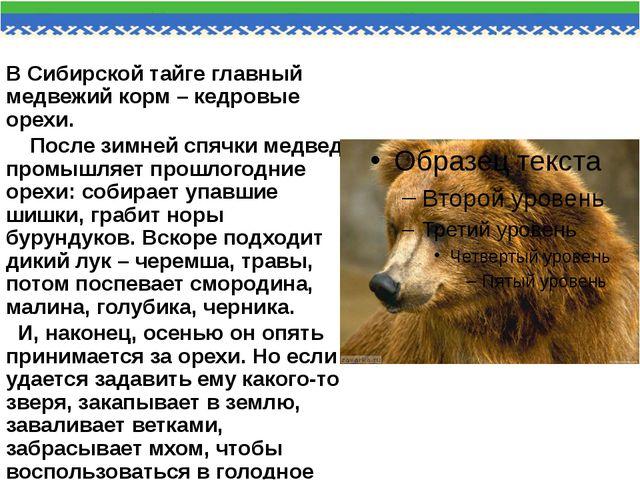 В Сибирской тайге главный медвежий корм – кедровые орехи. После зимней спячки...