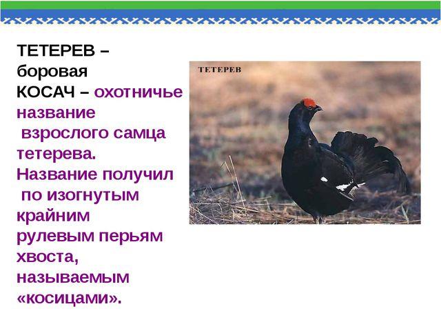 ТЕТЕРЕВ – боровая КОСАЧ – охотничье название взрослого самца тетерева. Назван...