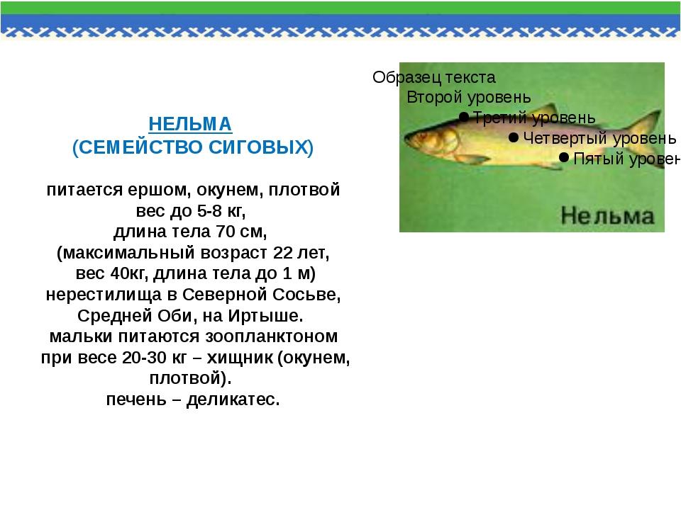 НЕЛЬМА (СЕМЕЙСТВО СИГОВЫХ) питается ершом, окунем, плотвой вес до 5-8 кг, дли...