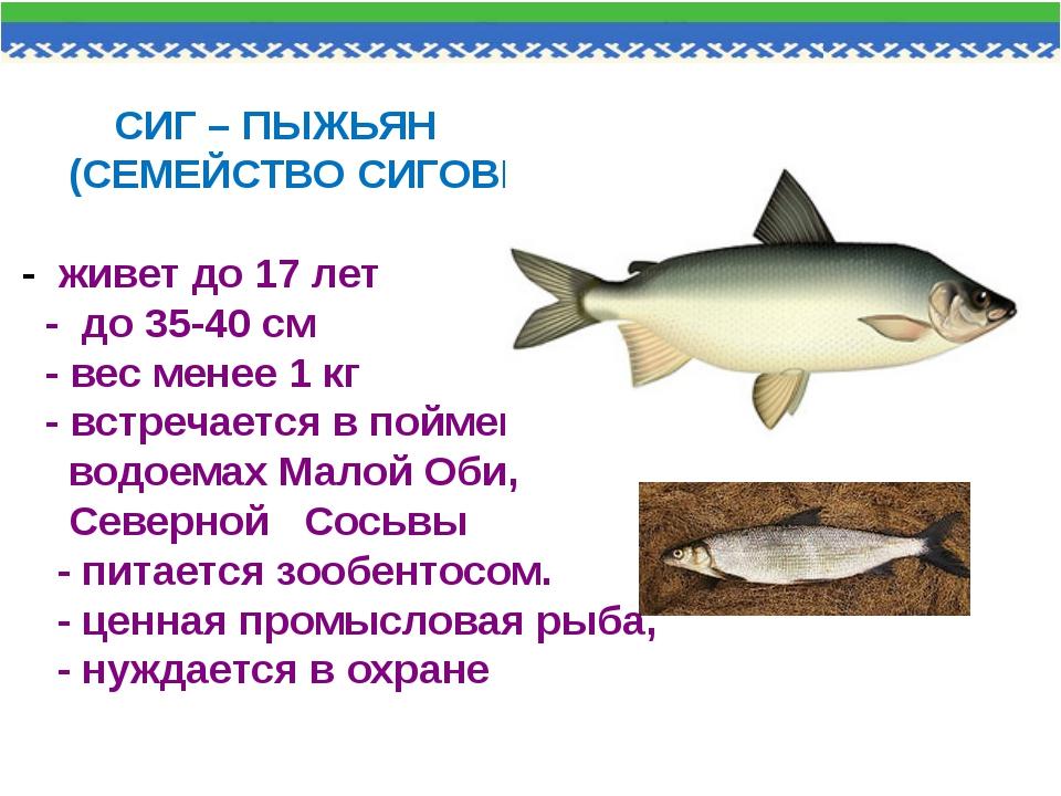 СИГ – ПЫЖЬЯН (СЕМЕЙСТВО СИГОВЫХ) - живет до 17 лет - до 35-40 см - вес менее...
