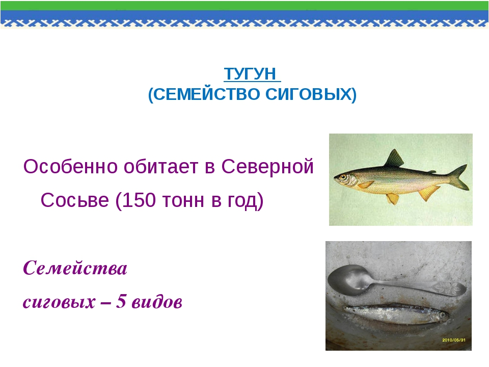 ТУГУН (СЕМЕЙСТВО СИГОВЫХ) Особенно обитает в Северной Сосьве (150 тонн в год)...