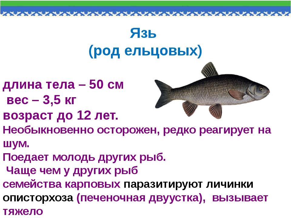 Язь (род ельцовых) длина тела – 50 см вес – 3,5 кг возраст до 12 лет. Необыкн...