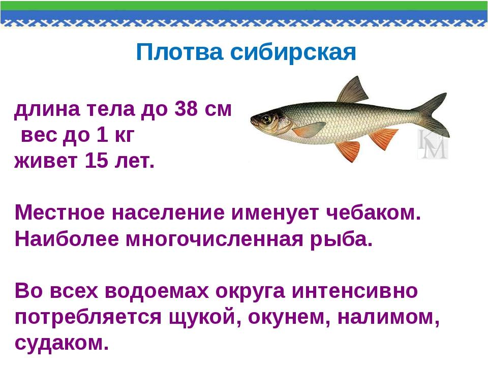 Плотва сибирская длина тела до 38 см вес до 1 кг живет 15 лет. Местное насел...
