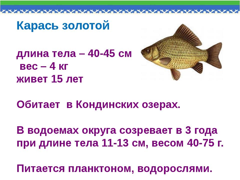 Карась золотой длина тела – 40-45 см вес – 4 кг живет 15 лет Обитает в Кондин...