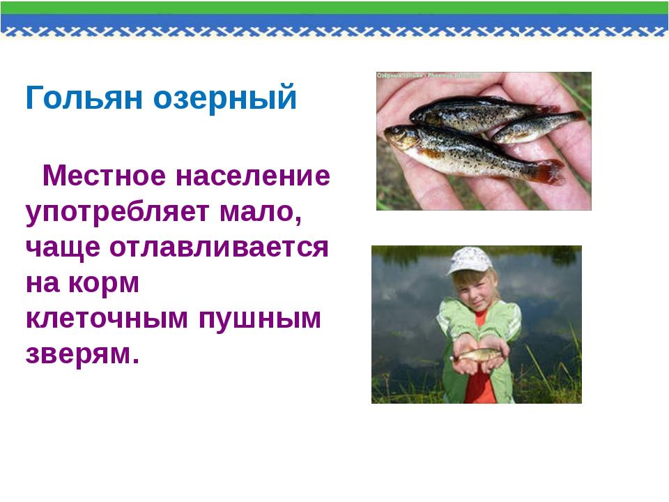 Гольян озерный Местное население употребляет мало, чаще отлавливается на корм...