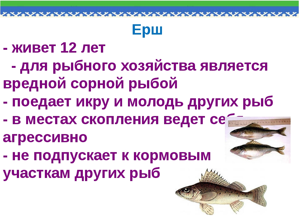 Ерш - живет 12 лет - для рыбного хозяйства является вредной сорной рыбой - по...