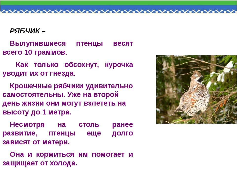 РЯБЧИК – Вылупившиеся птенцы весят всего 10 граммов. Как только обсохнут, ку...