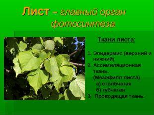 Лист – главный орган фотосинтеза Ткани листа: Эпидермис (верхний и нижний) А