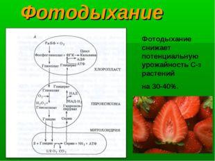 Фотодыхание Фотодыхание снижает потенциальнуюурожайность С-3 растений на 30-