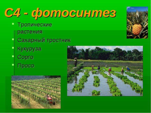 С4 - фотосинтез Тропические растения Сахарный тростник Кукуруза Сорго Просо