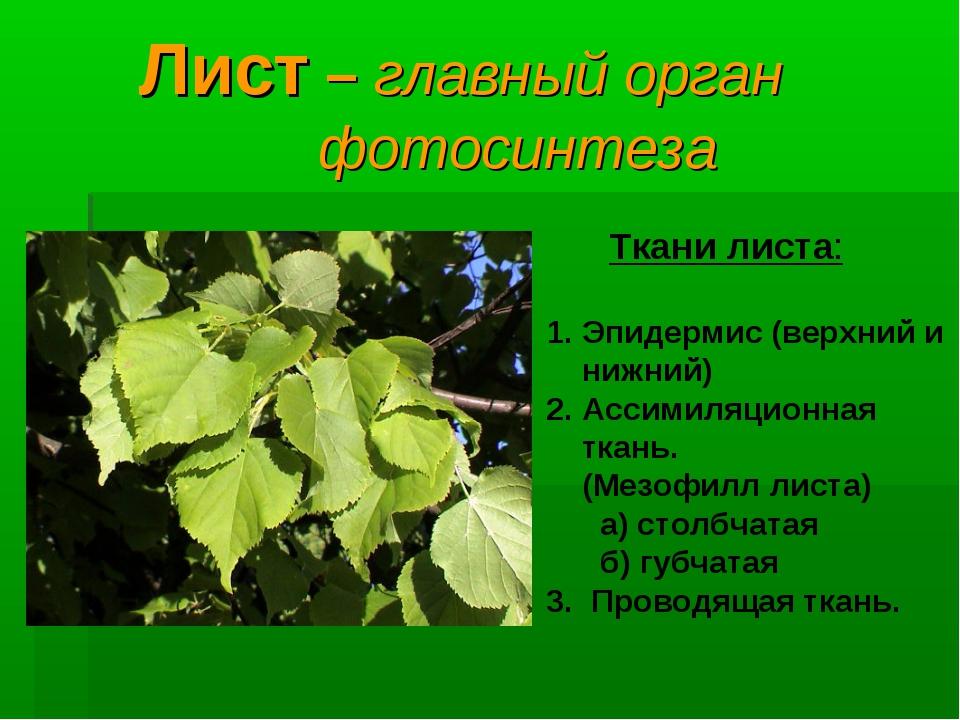 Лист – главный орган фотосинтеза Ткани листа: Эпидермис (верхний и нижний) А...