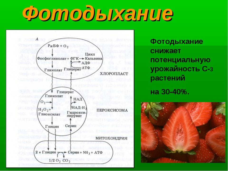 Фотодыхание Фотодыхание снижает потенциальнуюурожайность С-3 растений на 30-...