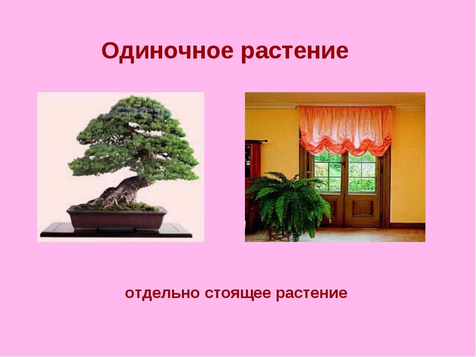 Одиночное растение отдельно стоящее растение