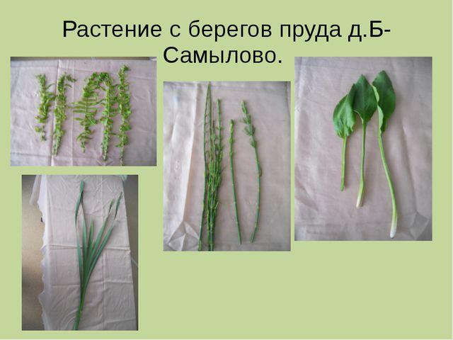Растение с берегов пруда д.Б-Самылово.