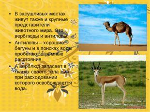 В засушливых местах живут также и крупные представители животного мира. Это в