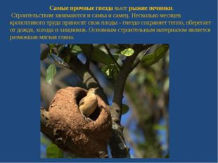 Самые прочные гнездавьютрыжие печники. Строительством занимаются и самка и