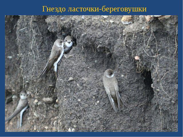 Гнездо ласточки-береговушки