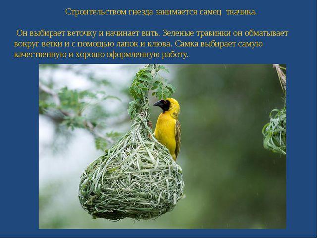 Строительством гнезда занимается самец ткачика. Он выбирает веточку и начинае...