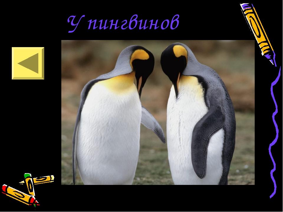 У пингвинов