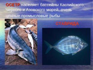 ОСЕТР населяет бассейны Каспийского, Черного и Азовского морей, очень ценные