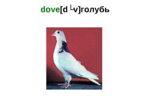 dove[dʌv]голубь